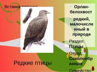 Редкие птицы Орлан- белохвост редкий, малочисленный в природе Раздел: Птицы О