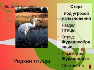 Редкие птицы Стерх под угрозой исчезновения Раздел: Птицы Отряд: Журавлеобраз