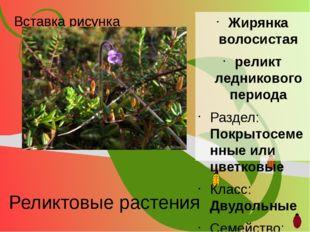 Реликтовые растения Жирянка волосистая реликт ледникового периода Раздел: Пок