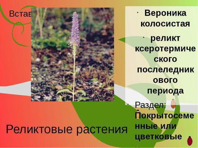 Реликтовые растения Вероника колосистая реликт ксеротермического послеледнико...