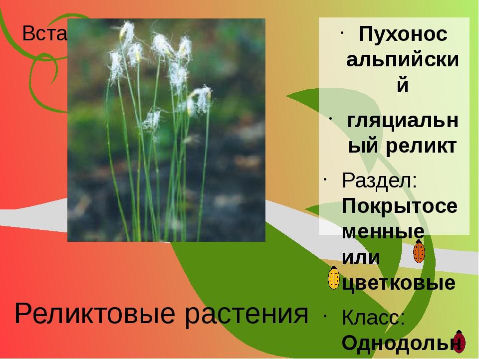 Реликтовые растения Пухонос альпийский гляциальный реликт Раздел: Покрытосеме...