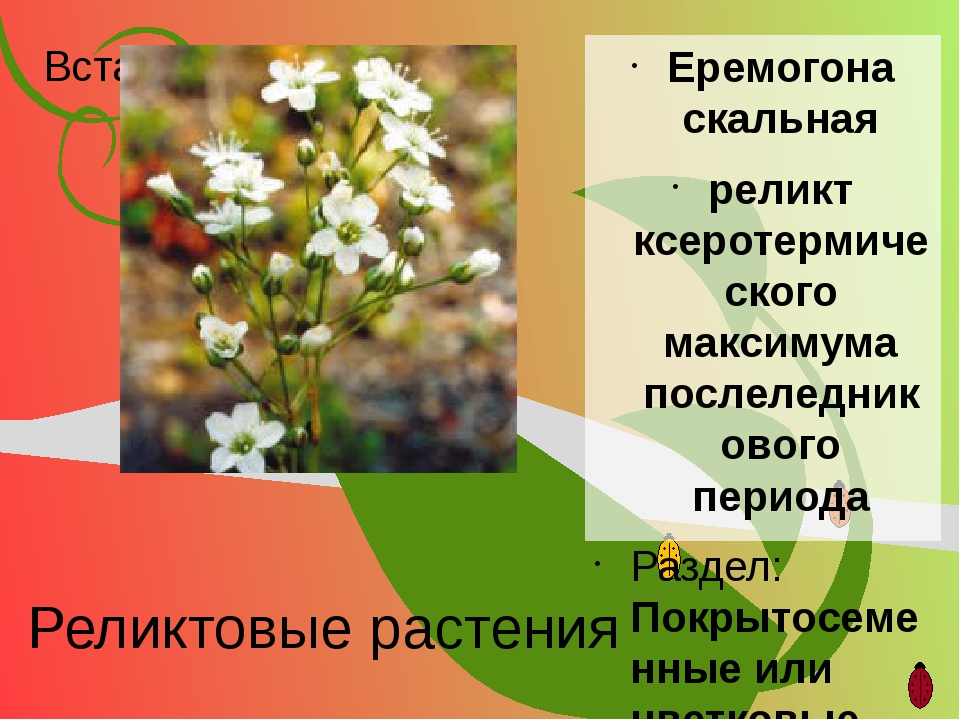 Реликтовые растения Еремогона скальная реликт ксеротермического максимума пос...