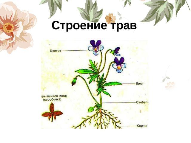 Строение трав
