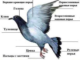 2.12.14 Клюв Голова Первостепенные маховые перья Второстепенные маховые перья