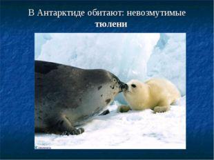 В Антарктиде обитают: невозмутимые тюлени