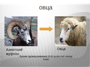 овца Азиатский муфлон Овца Время одомашнивания:10-9 тысяч лет назад. Азия.