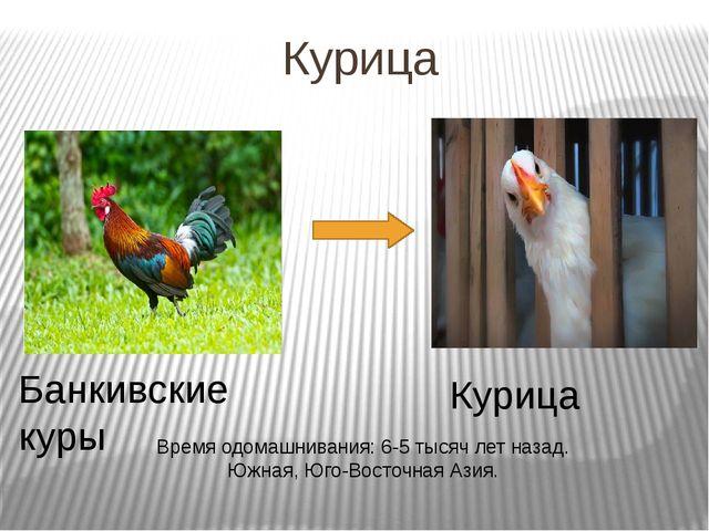 Курица Банкивские куры Курица Время одомашнивания: 6-5 тысяч лет назад. Южная...