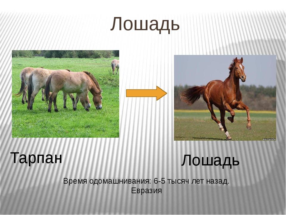 Лошадь Тарпан Лошадь Время одомашнивания: 6-5 тысяч лет назад. Евразия