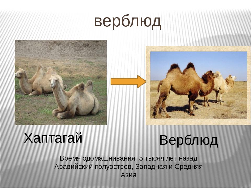 верблюд Хаптагай Верблюд Время одомашнивания: 5 тысяч лет назад Аравийский по...