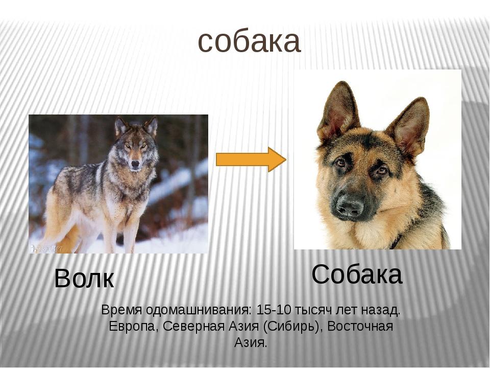 собака Волк Собака Время одомашнивания: 15-10 тысяч лет назад. Европа, Северн...