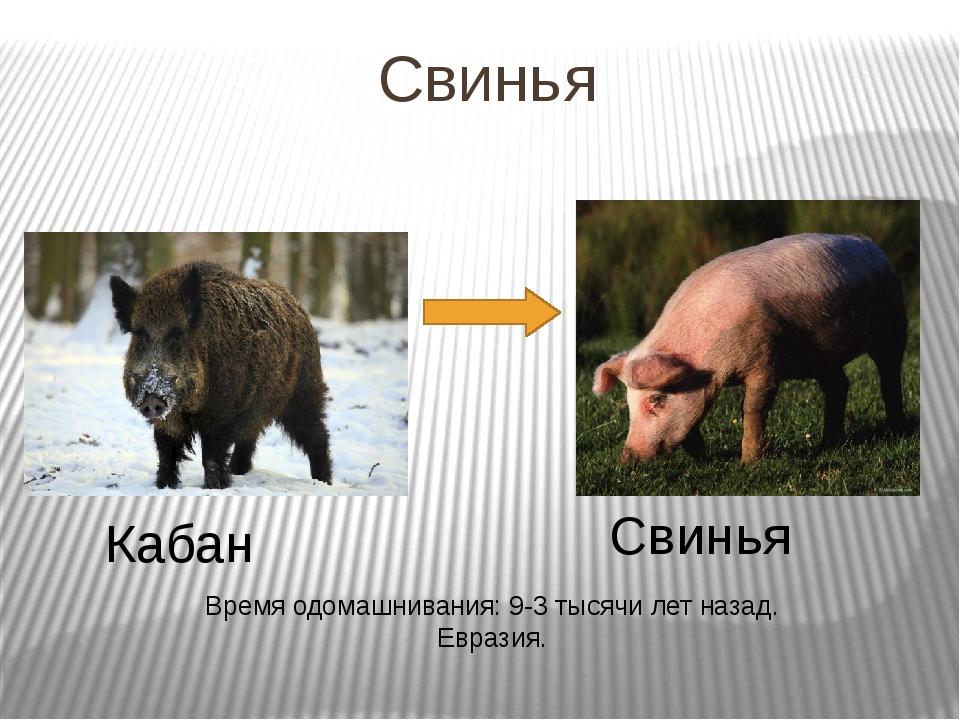 Свинья Кабан Свинья Время одомашнивания: 9-3 тысячи лет назад. Евразия.