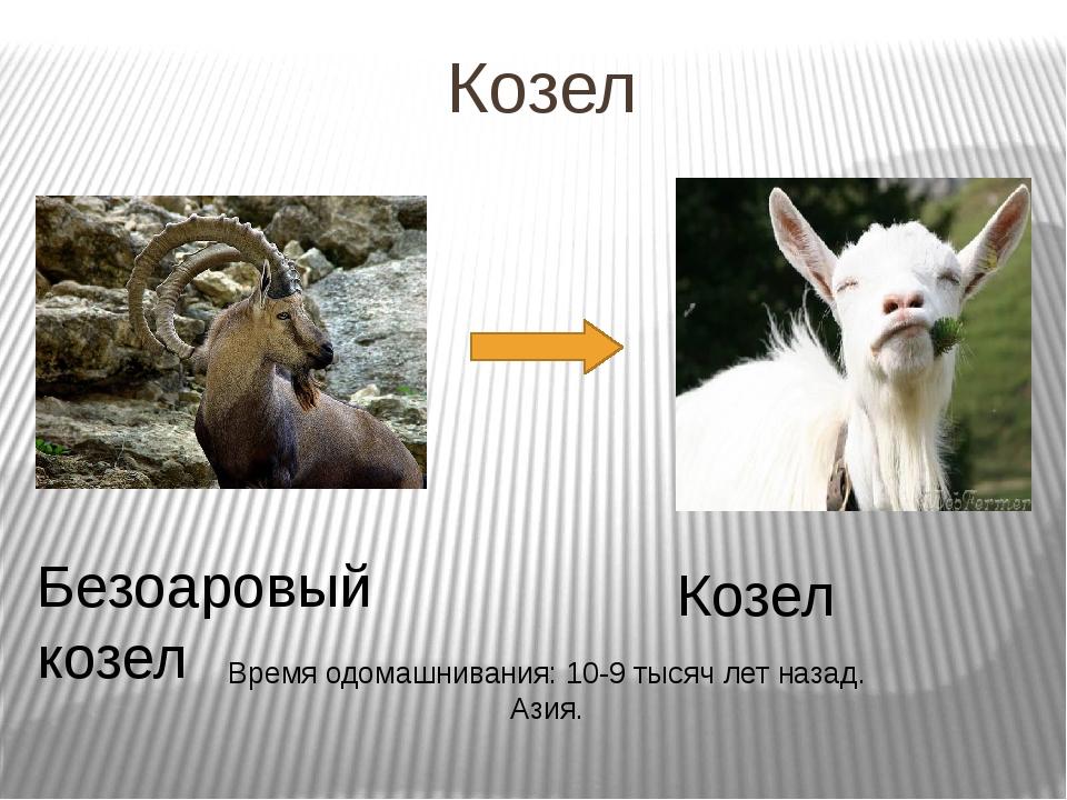 Козел Безоаровый козел Козел Время одомашнивания: 10-9 тысяч лет назад. Азия.