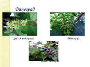 Виноград Цветки винограда Виноград Дикий виноград