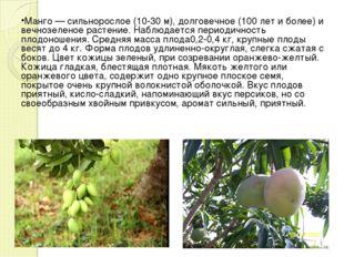 Манго — сильнорослое (10-30 м), долговечное (100 лет и более) и вечнозеленое