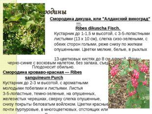 """Сорта смородины Смородина дикуша, или """"Алданский виноград"""" — Ribes dikuscha F"""