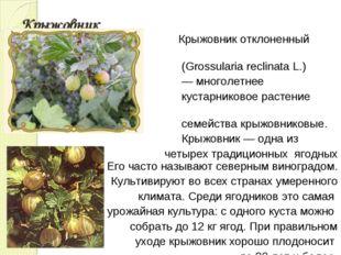 Крыжовник Крыжовник отклоненный (Grossularia reclinata L.) — многолетнее куст
