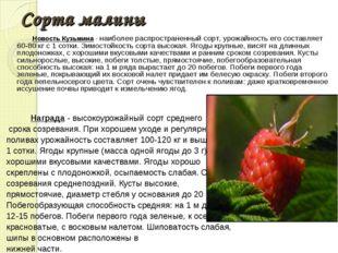 Сорта малины Новость Кузьмина - наиболее распространенный сорт, урожайность е