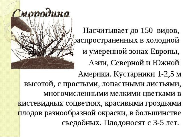 Смородина Насчитывает до 150 видов, распространенных в холодной и умеренной з...