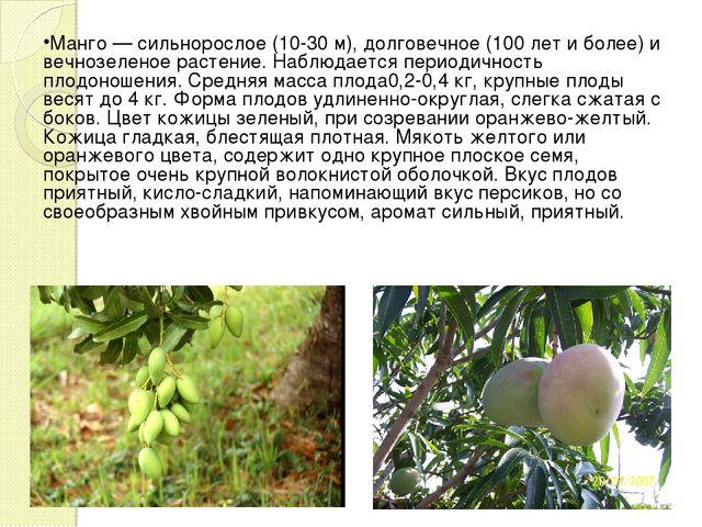 Манго — сильнорослое (10-30 м), долговечное (100 лет и более) и вечнозеленое...