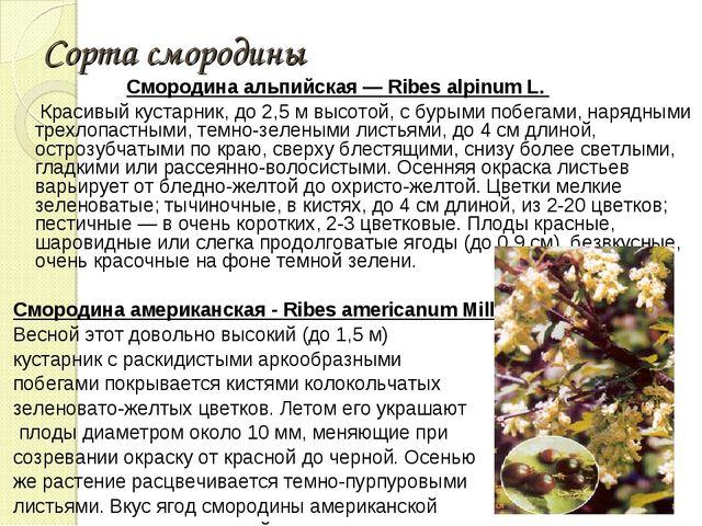 Сорта смородины Смородина альпийская — Ribes alpinum L. Красивый кустарник, д...