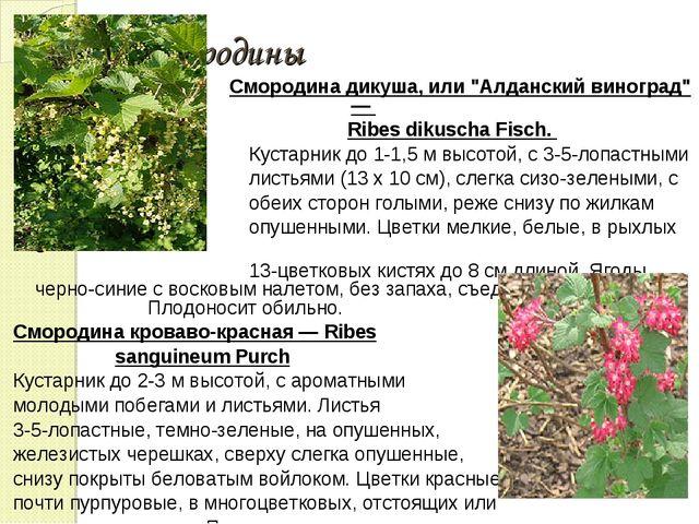 """Сорта смородины Смородина дикуша, или """"Алданский виноград"""" — Ribes dikuscha F..."""