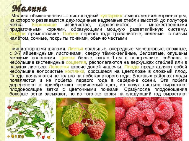 Малина Малина обыкновенная— листопадный кустарник с многолетним корневищем,...