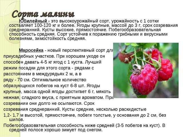 Сорта малины Юбилейный - это высокоурожайный сорт, урожайность с 1 сотки сост...