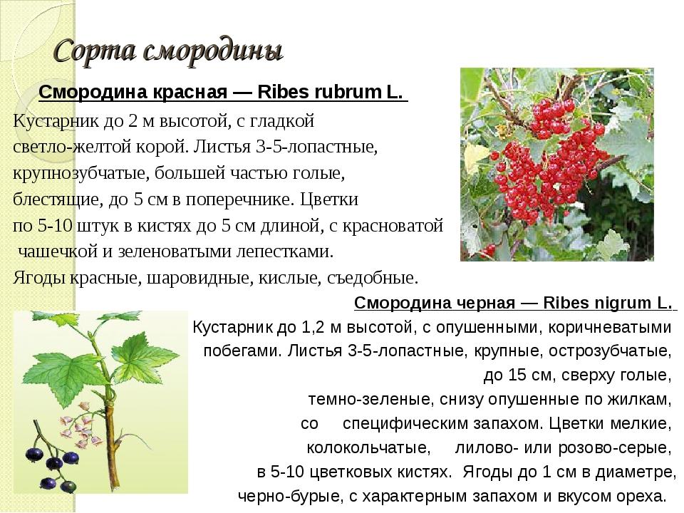 Сорта смородины Смородина красная — Ribes rubrum L. Кустарник до 2 м высотой...