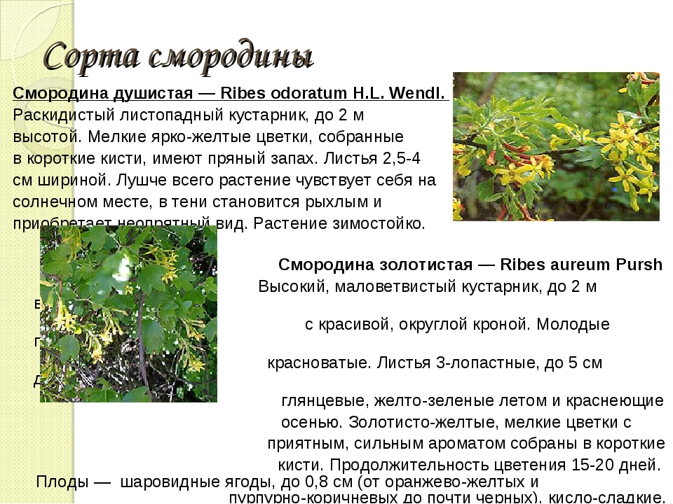 Сорта смородины Смородина душистая — Ribes odoratum H.L. Wendl. Раскидистый...