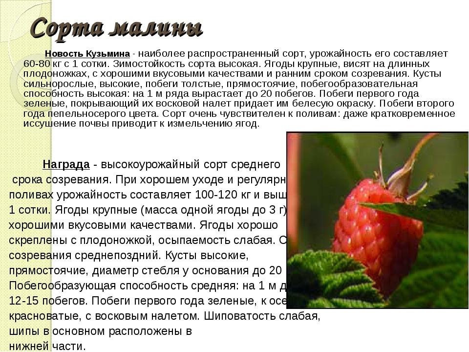 Сорта малины Новость Кузьмина - наиболее распространенный сорт, урожайность е...