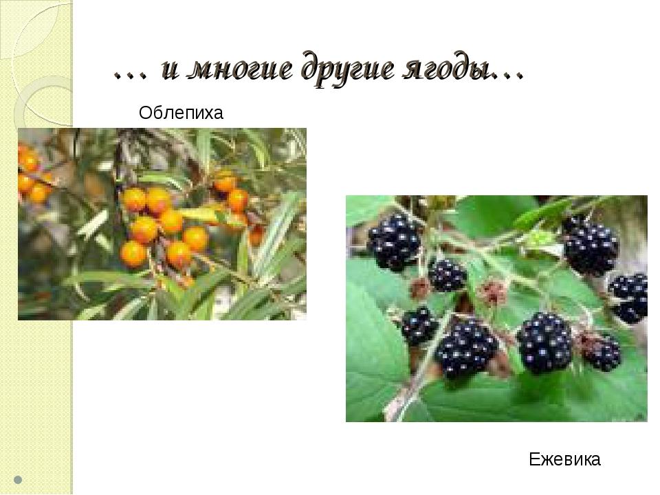 … и многие другие ягоды… Облепиха Ежевика