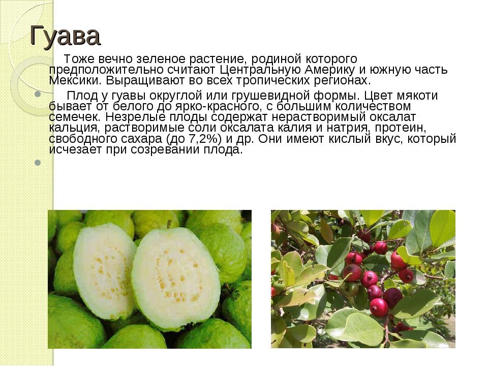 Гуава Тоже вечно зеленое растение, родиной которого предположительно считают...
