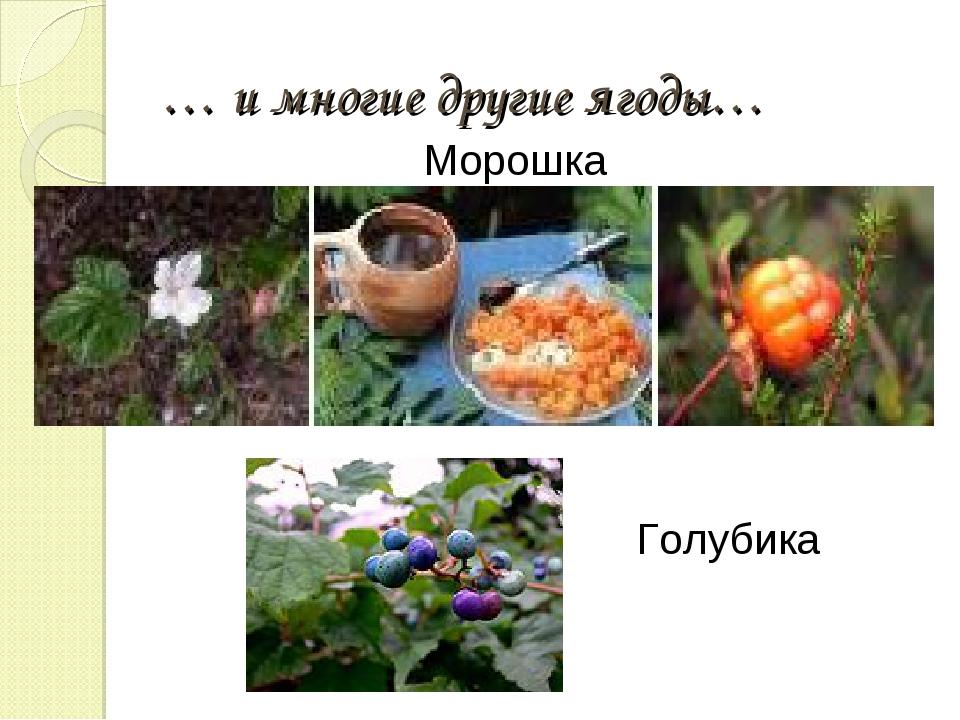 … и многие другие ягоды… Морошка Голубика