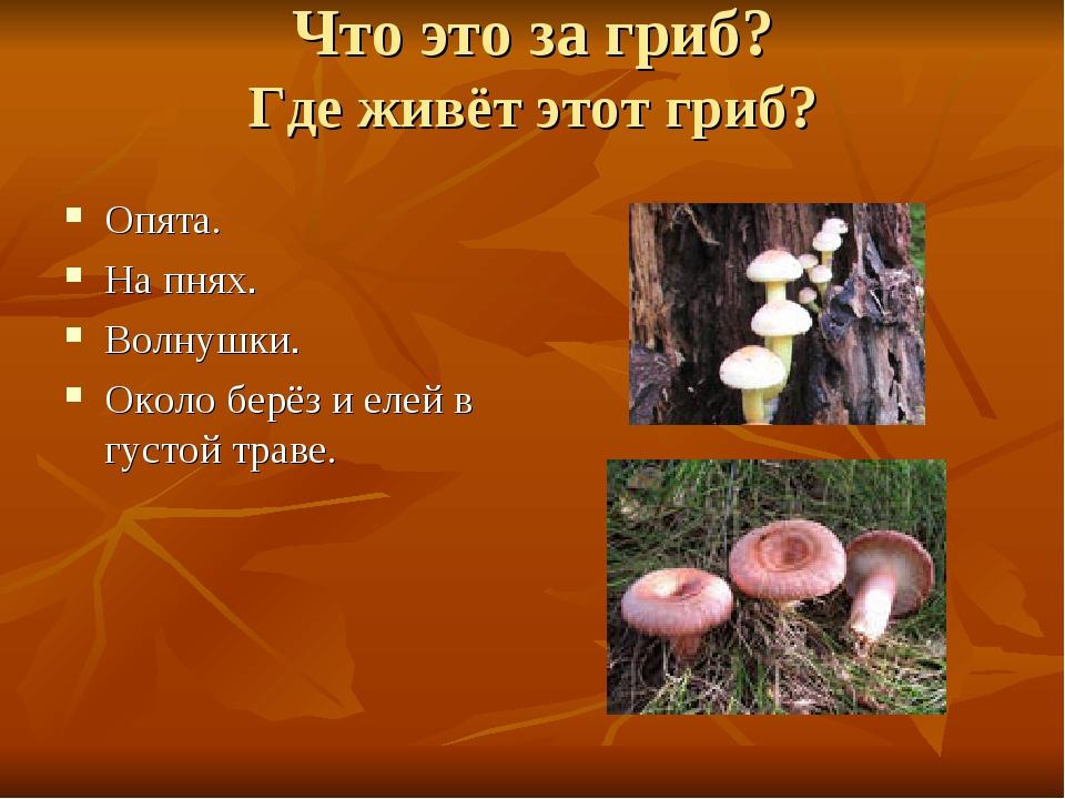 Что это за гриб? Где живёт этот гриб? Опята. На пнях. Волнушки. Около берёз и...