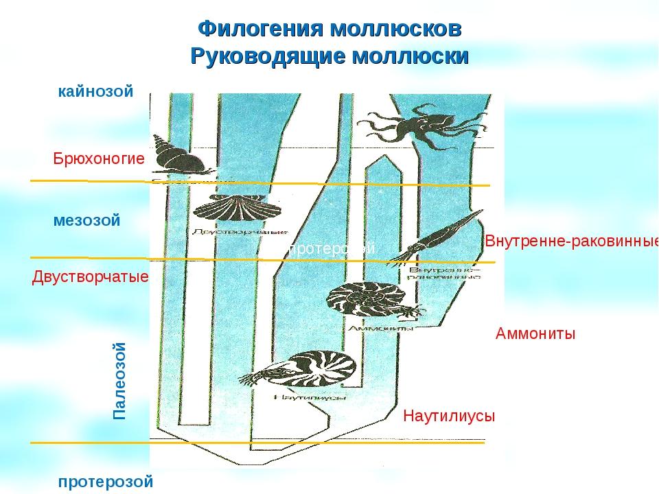Филогения моллюсков Руководящие моллюски Палеозой протерозой мезозой кайнозой...