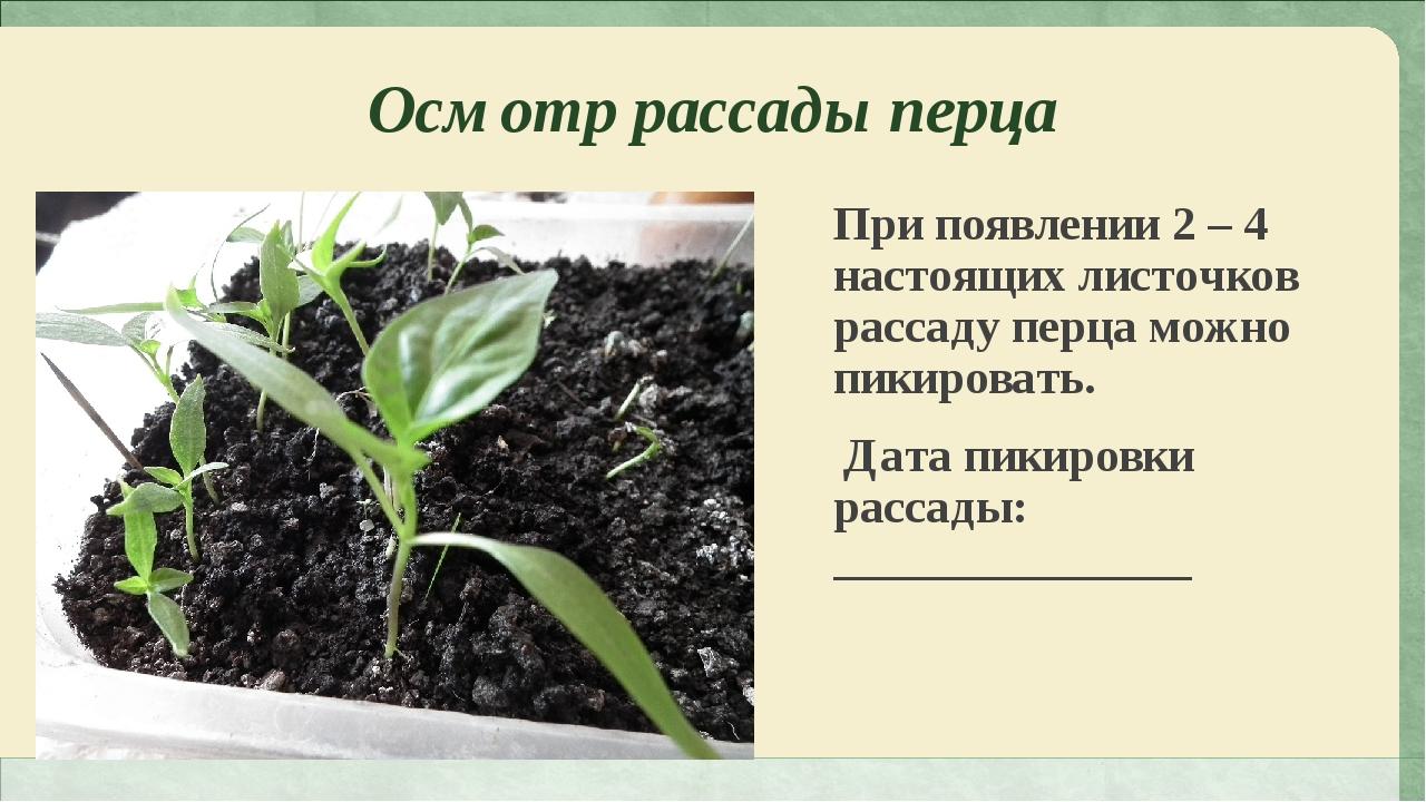 Осмотр рассады перца При появлении 2 – 4 настоящих листочков рассаду перца мо...