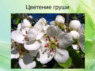 Цветение груши