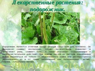 Лекарственные растения: подорожник. Подорожник является отличным лекарственны