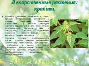 Лекарственные растения: крапива. Крапива двудомная относится к очень ценным л
