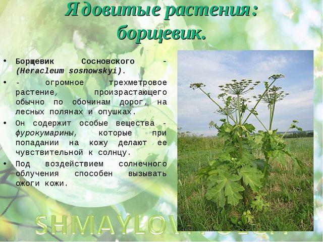 Ядовитые растения: борщевик. Борщевик Сосновского - (Heracleum sosnowskyi). -...