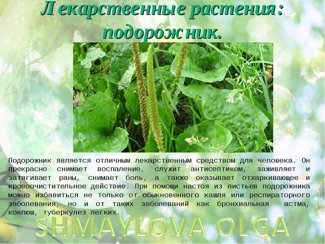 Лекарственные растения: подорожник. Подорожник является отличным лекарственны...