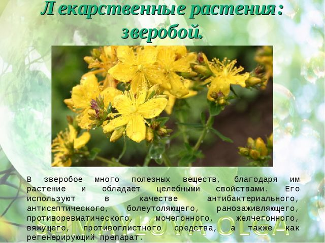 Лекарственные растения: зверобой. В зверобое много полезных веществ, благодар...