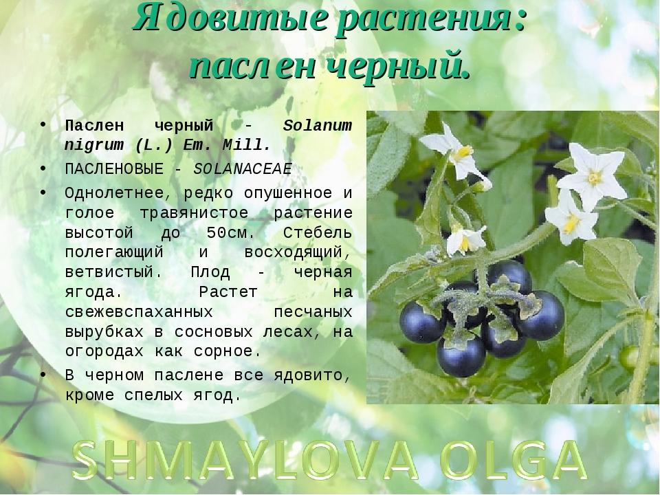 Ядовитые растения: паслен черный. Паслен черный - Solanum nigrum (L.) Em. Mil...