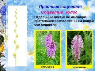 Простые соцветия Соцветие колос Отдельные цветки не имеющие цветоножек распол