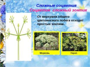 Сложные соцветия Соцветие сложный зонтик От верхушки общего цветоносного побе