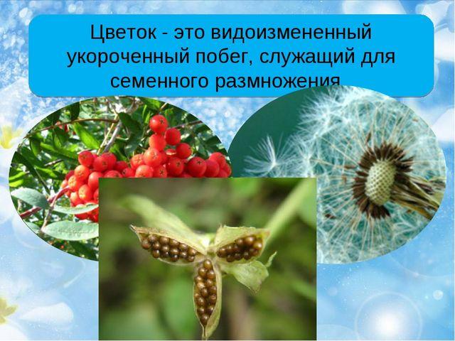 Цветок - это видоизмененный укороченный побег, служащий для семенного размнож...