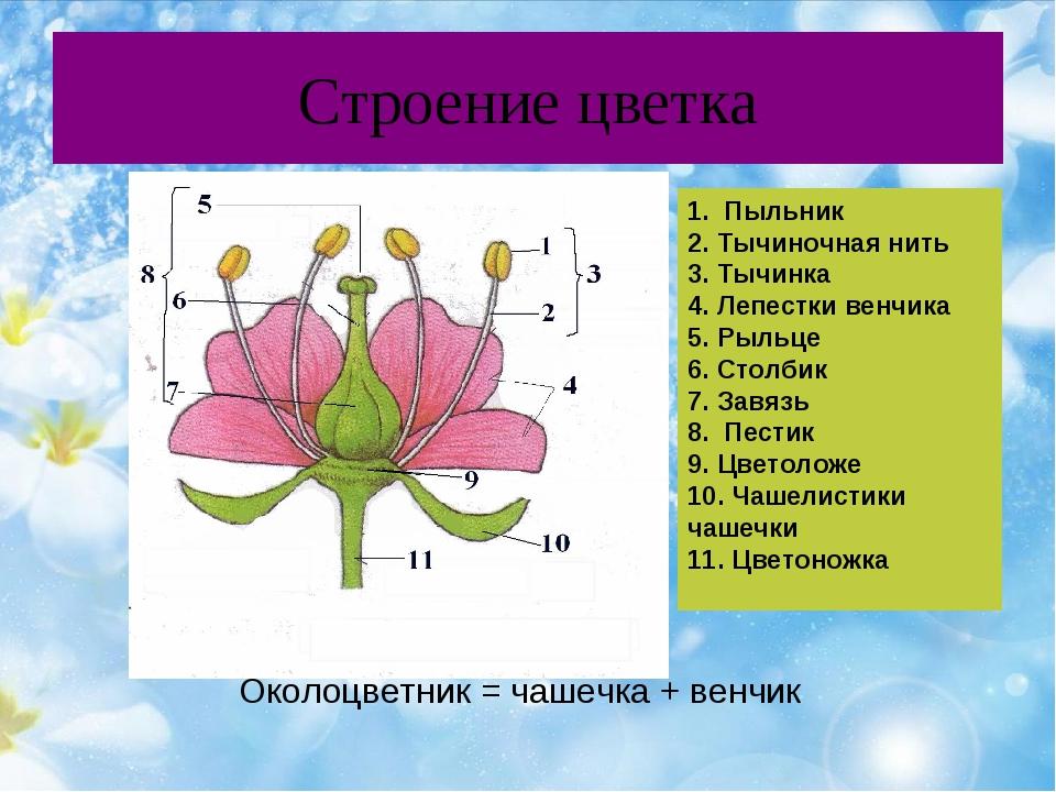 Строение цветка 1. Пыльник 2. Тычиночная нить 3. Тычинка 4. Лепестки венчика...