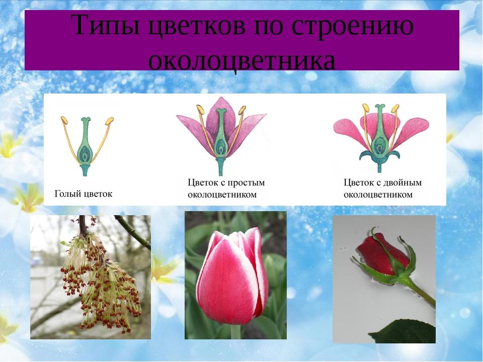 Типы цветков по строению околоцветника