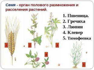 Семя - орган полового размножения и расселения растений. 1. Пшеница. 2. Гречи
