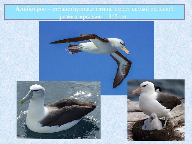 Альбатрос – странствующая птица, имеет самый большой размах крыльев – 363 см.